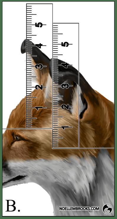Red Fox Ear Curl Calculations - B