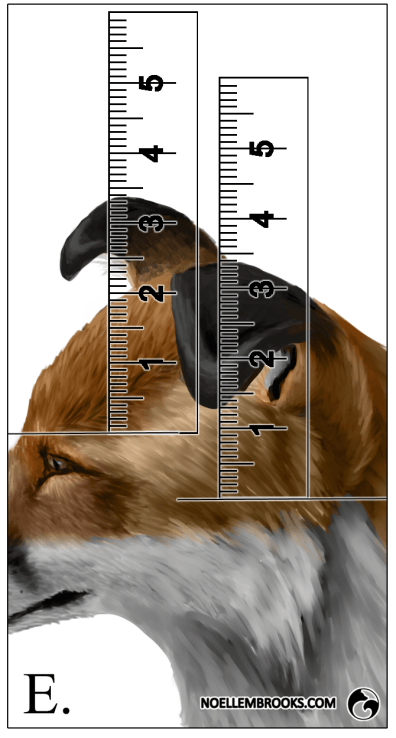 Red Fox Ear Curl Calculations - E