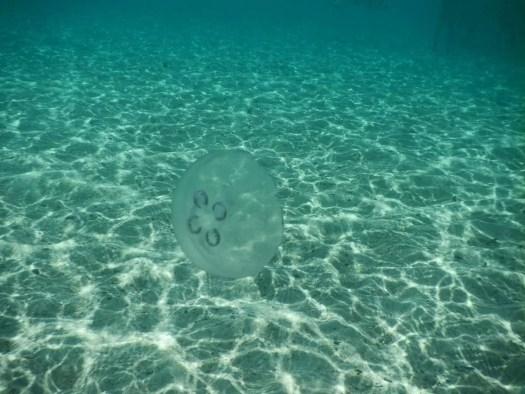 le meduse sono sinonimo di purezza delle acque e a Cayo Arena abbondano