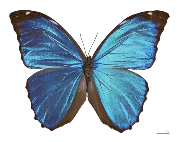 Morpho menelaus. The color depends on the interference of the waves diffracted by microscopic scales