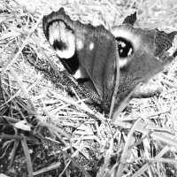 En død sommerfugl