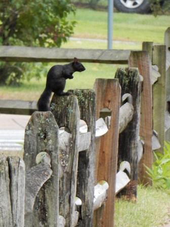 We love the black squirrels.