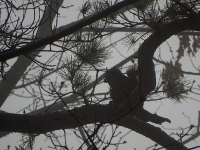 The Black Squirrel blends in pretty well on a gray day.