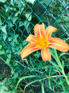 Neighbor's day lily poking through the fence.