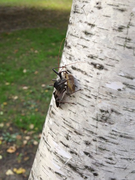 Bug on a birch NoFarmNeeded
