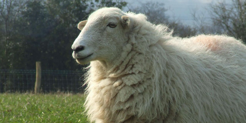 silence-sheep