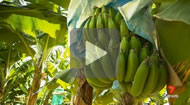 Max Futcher reports: There are fears flooding could spread the devastating Panama disease, which has been found on a farm near Tully, and have a crippling effect on the north Queensland banana industry.