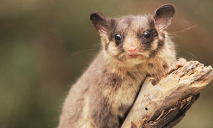 Will @LisaNevilleMP move fast enough on #GFNP to save Leadbeater's possum from #extinction? asks @Takvera #vicpol