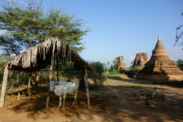 Cow amongst temples