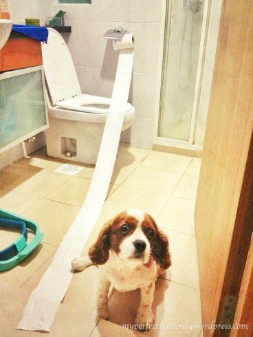 A cavalier king charles next to a toilet roll