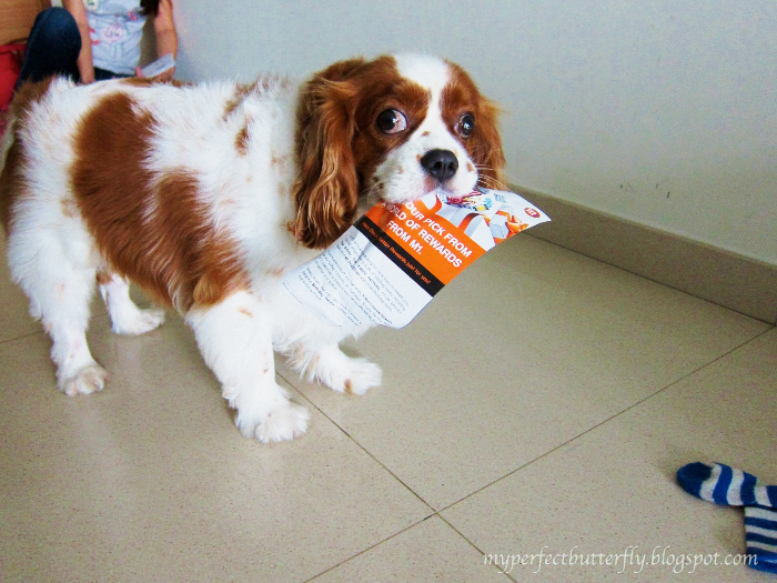 img 1026 1 Living With The Cavalier King Charles Spaniel Jamie Chan