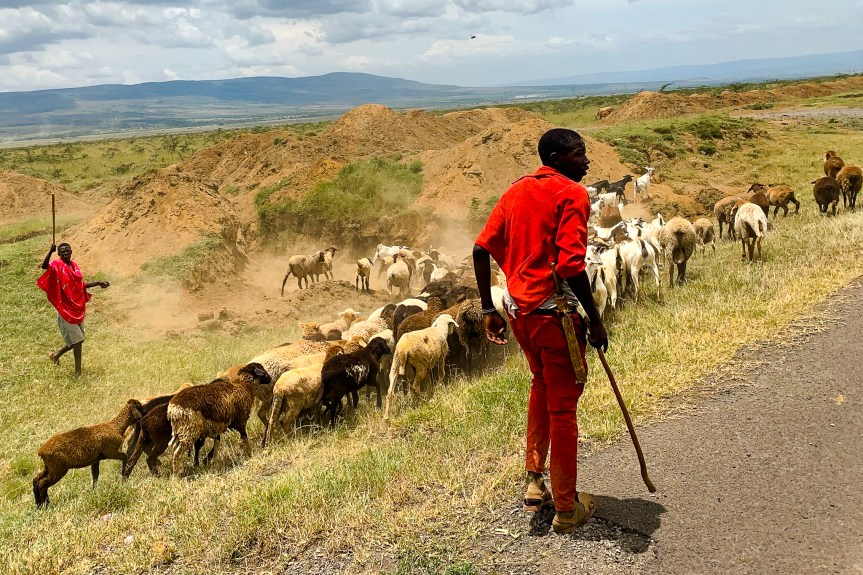 A Masai man wearing a red shirt and pants guiding his herd of goats off the road