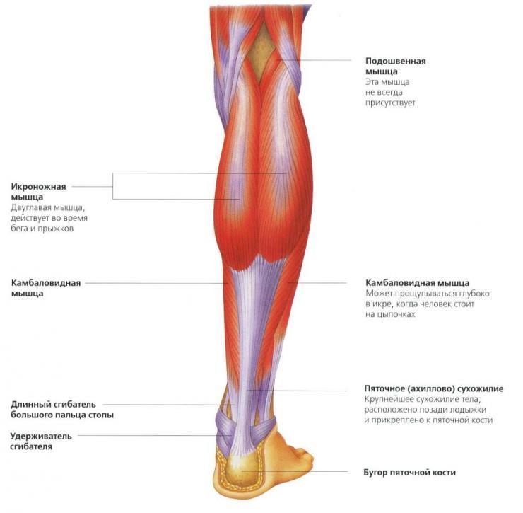 Строение голени человека кости мышцы сухожилия травмы и болезни