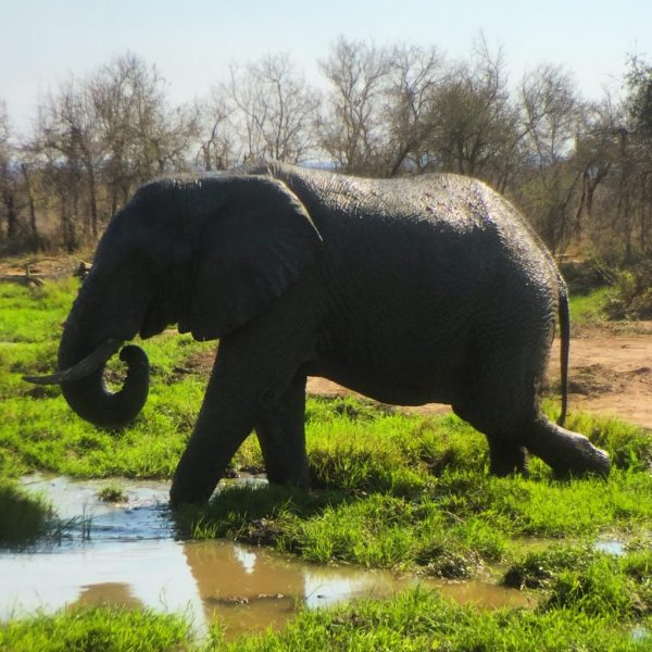 Elephant in a marsh, Wolhuter Wilderness Trail, Kruger National Park, South Africa