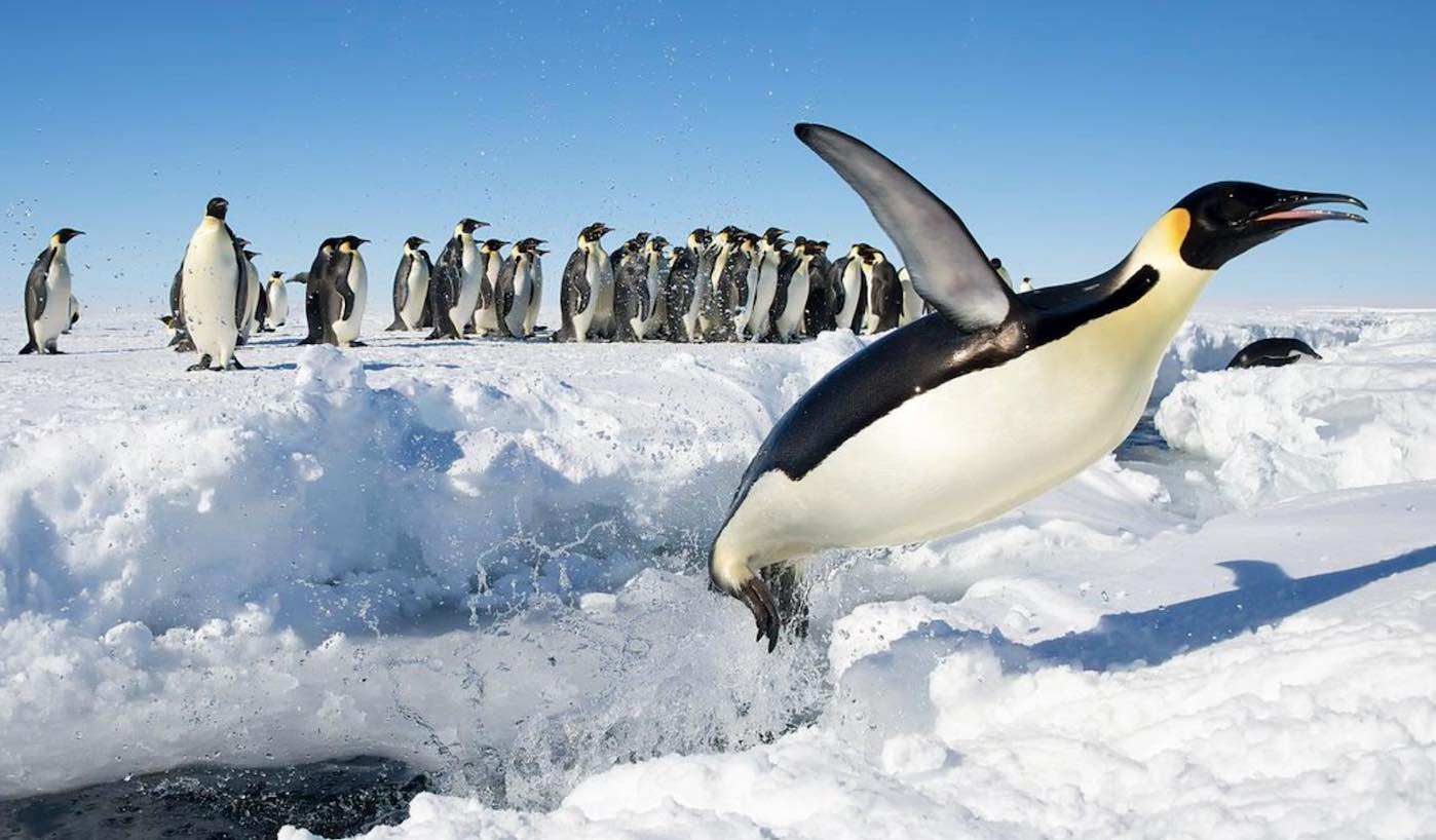 Satellites Reveal There Are 20 More Emperor Penguin
