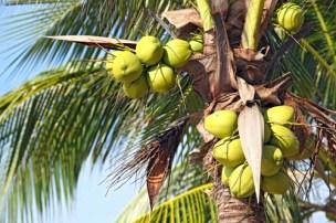 coconut tree-2