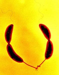 Caulobacter_crescentus