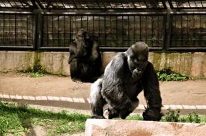 Gorilla_im_Tiergarten_Nürnberg