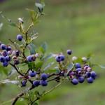 健康的なブルーベリーの上手な食べ方と,アントシアニンの効果を紹介!
