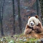 世界に一頭しかいない茶色いパンダ!