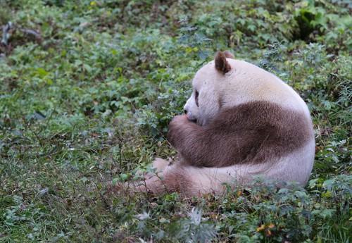 abandoned-brown-panda-qizai-2