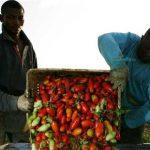 98円のトマト缶を支えるアフリカ系農民たち・伊の経済奴隷の現実
