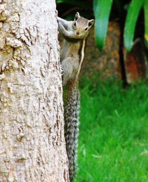 The palm squirrels are struggling to survive in bangalore thanks for rampant tree cutting