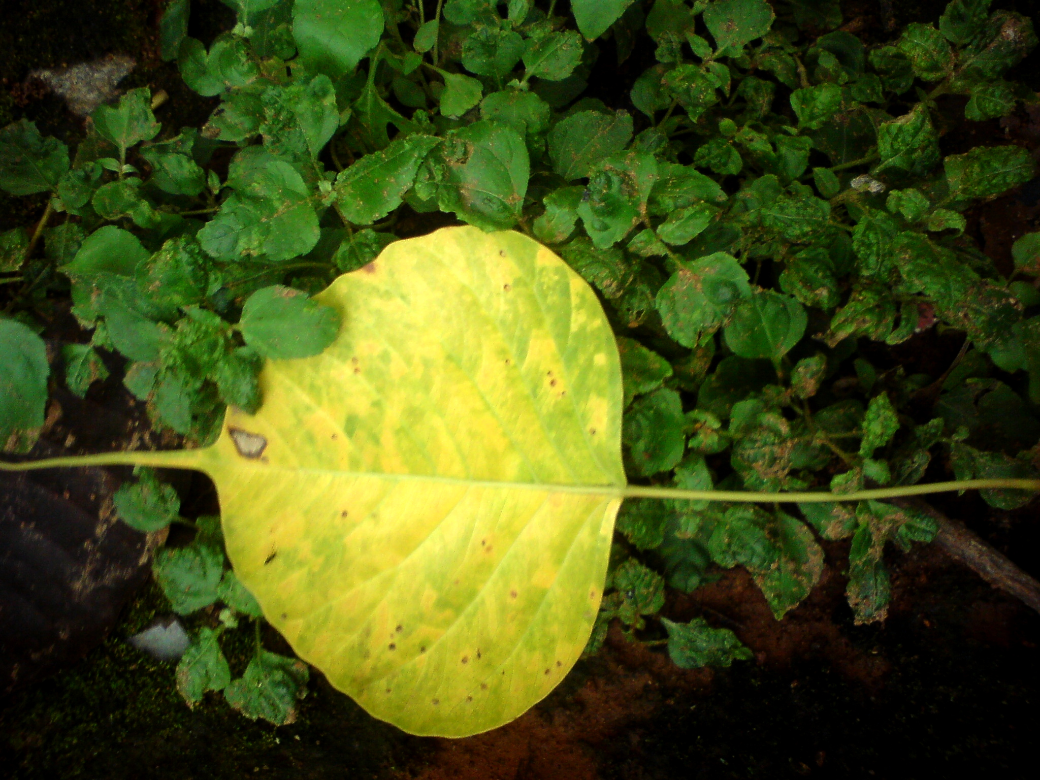 Fallen Monsoon Pepal Leaf