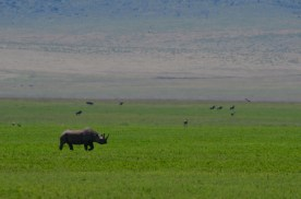A black rhinoceros enjoys a scamper across the green floor of the Ngorongoro Crater.