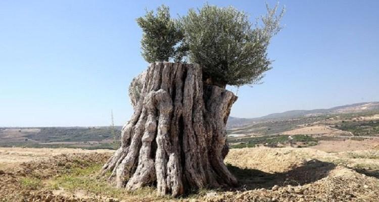 Kesilmek üzere iken 800 yıllık zeytin ağacı meyve verdi