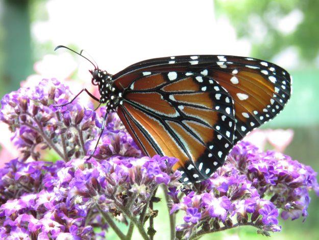 Queen Butterflies!