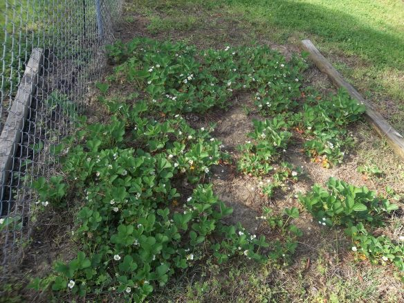 We are starting to get some some strawberry's!!  We can't wait for them to turn red!!   YUMMY!!