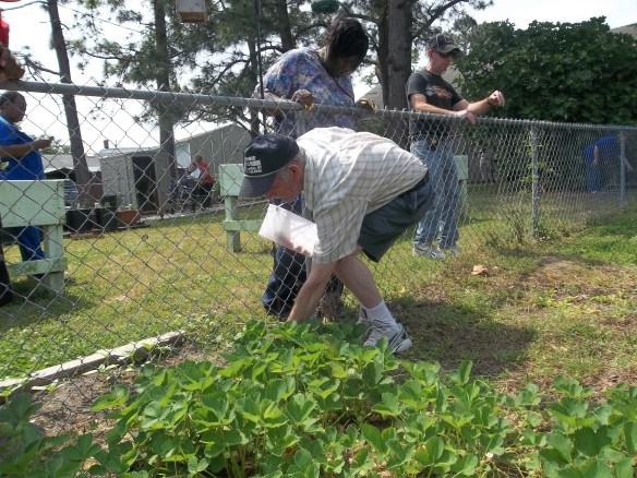 """Pick on Jack, pick on Jack"" - Amy    Here is Jackie picking a few strawberries from our patch out back."