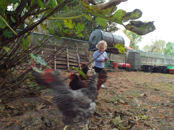 The chickens had a cute visitor to play with - Shirley's granddaughter!