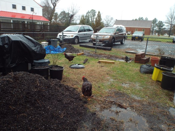 """Chickens having a """"Spa Day"""", taking a mud bath! (Rachel thinks they look like wet dogs)."""
