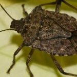 How to Get Rid of Stink Bugs?