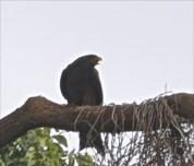 Black Kite large bird of prey