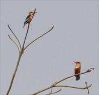 Senegal kingfisher and Grey headed Kingfisher