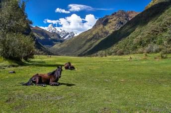 Horses at the Santa Cruz trek in Peru