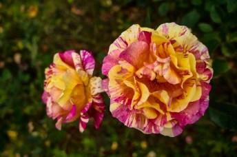 Roses at Quito Botanical Garden in Ecuador