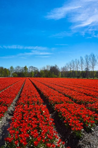 Red tulips field near Emmeloord in the Netherlands