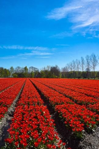 Red tulips field near Emmeloord in the Netherlands
