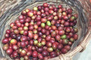 Canasta con fruto del café