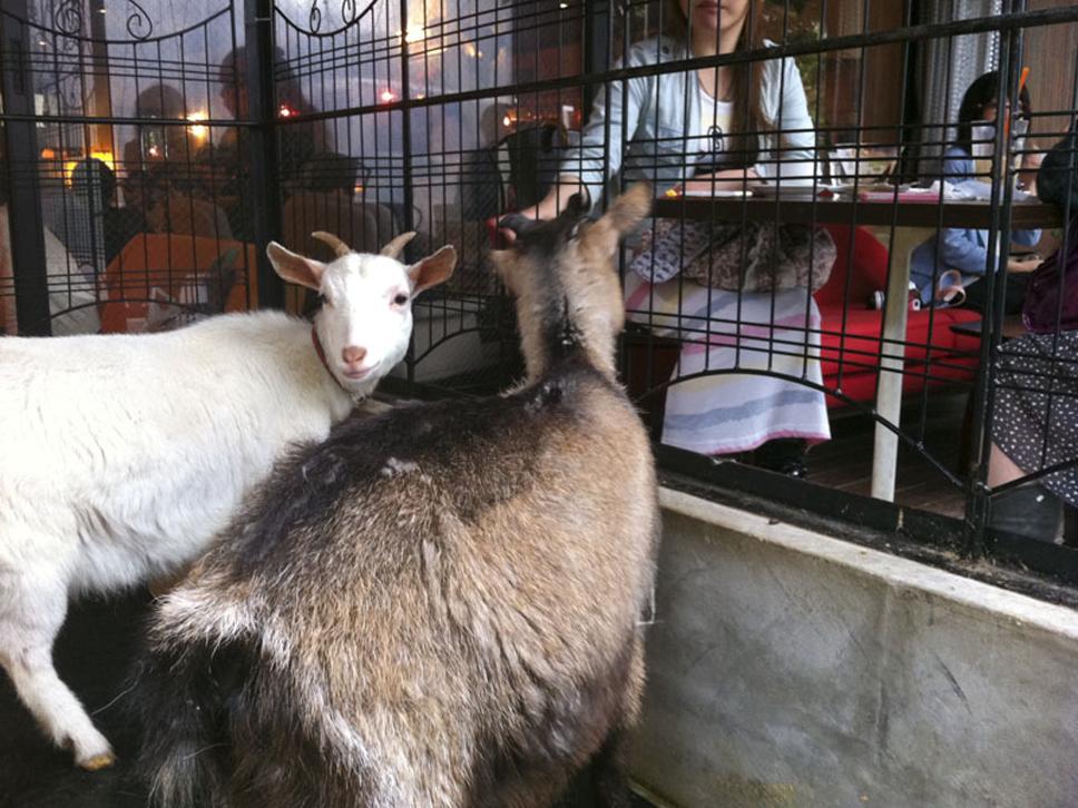 animalcafes-goat08_800