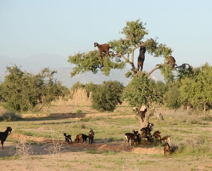 cabras (3)