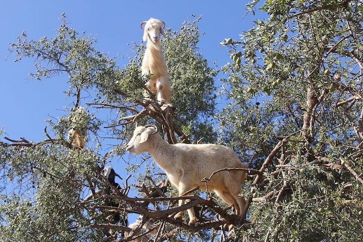 cabras (5)