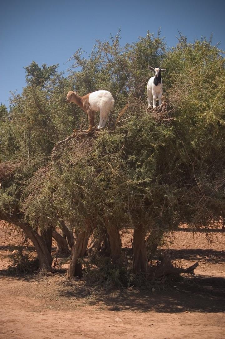 cabras (8)