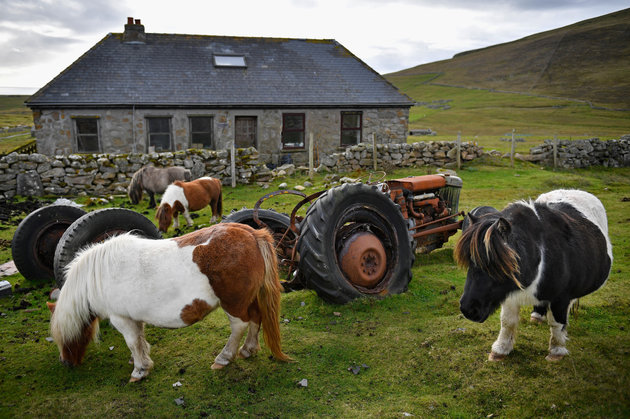 FOULA, SCOTLAND - OCTOBER 01: Ponies graze freely on the Island of Foula on October 1, 2016 in Foula, Scotland. Foula is the remotest inhabited island in Great Britain with a current population of thirty people and has been owned since the turn of the 20th century by the Holbourn family. (Photo by Jeff J Mitchell/Getty Images)