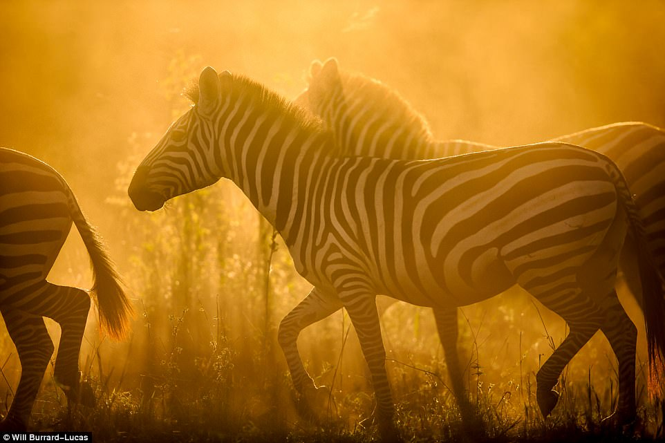 3F8F9E0200000578-4441066-Horsing_around_A_group_of_zebras_in_Serengeti_National_Park_in_T-a-15_1493195036926