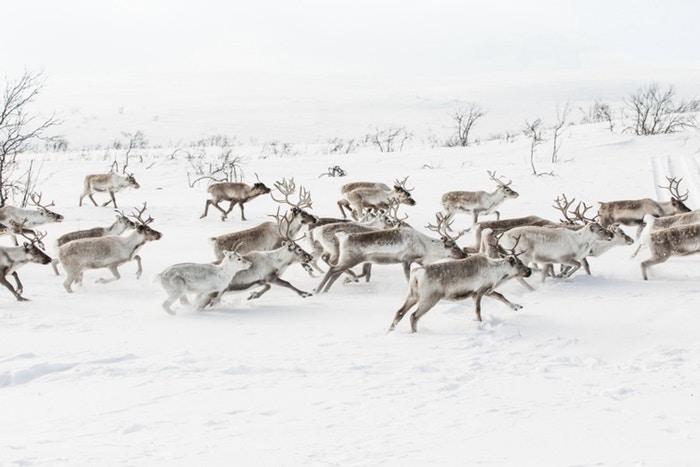 Reindeer-826e9016cff59a05a3b98c957ffb7180